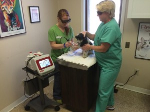 """Here is """"Mickey"""" Smith getting his laser therapy for osteoarthritis in his carpus (""""wrist"""")."""